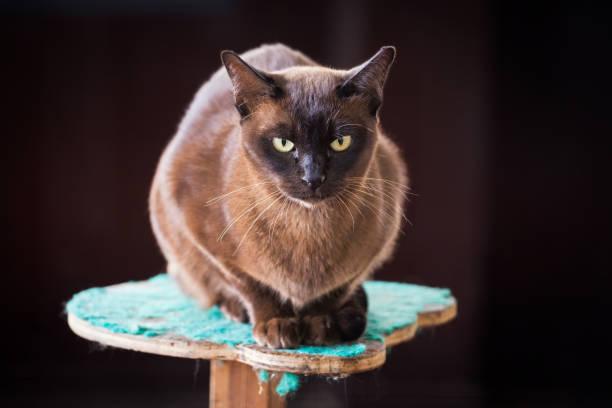 Black Burmese cat stock photo