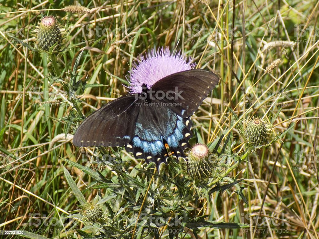 Black Butterfly on Purple Thistle stock photo