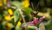 A black butterfly forages for nectar and pollen on a purple flower.