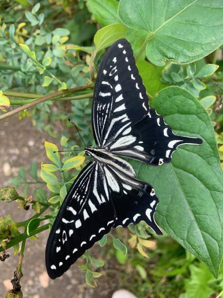 Black butterfly picture id1161421756?b=1&k=6&m=1161421756&s=612x612&w=0&h=sltrxm9gd5pylna9hbblf6fc3xqm4czbc v6mlpveli=