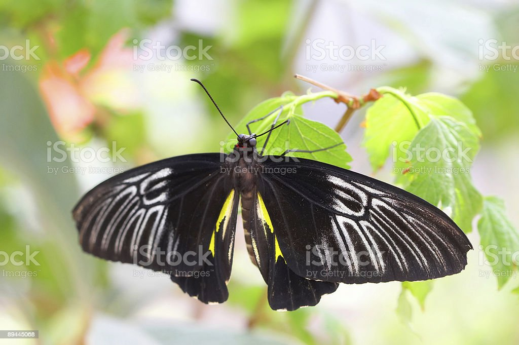 Black Butterfly royalty-free stock photo