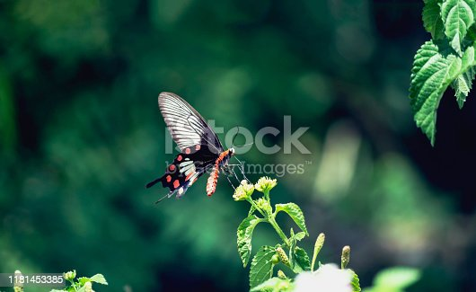 Black butterfly with orange body And red spots on the wings on green backgrounds