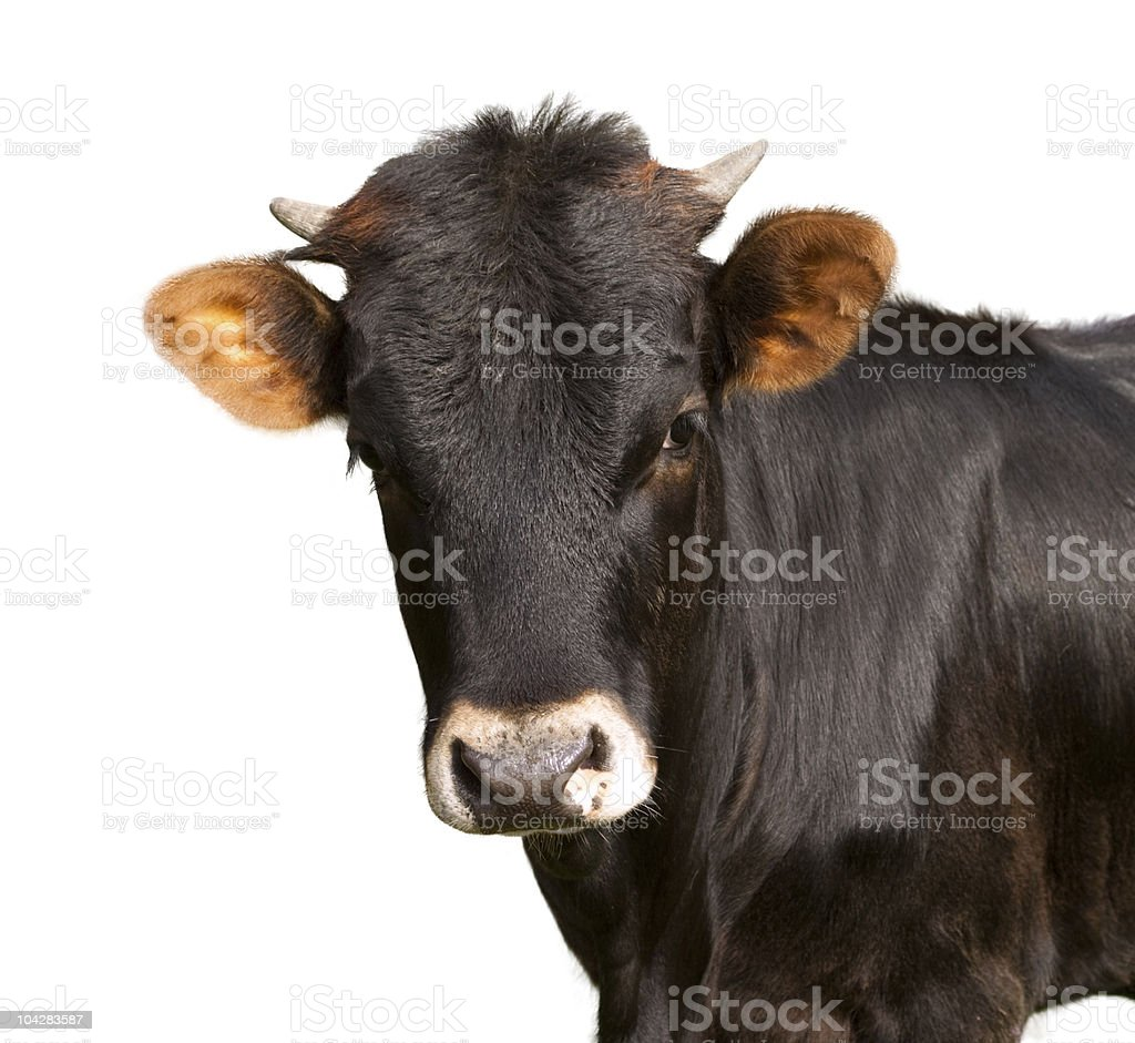 black calf stock photo