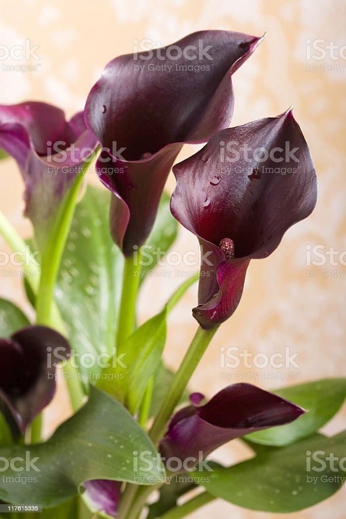 Noir de lys (callas) retournées - Photo
