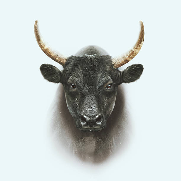 black camargue bull face portrait with double exposure effect stock photo