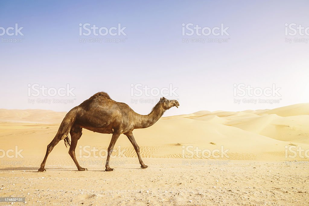 Black Camel in Desert Sand Dunes royalty-free stock photo