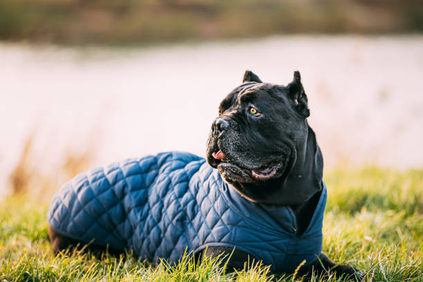 Black Cane Corso Dog Sitting In Grass. Dog Wears In Warm Clothes. Big Dog Breeds Black Cane Corso Dog Sitting In Grass. Dog Wears In Warm Clothes. Big Dog Breeds. cane corso stock pictures, royalty-free photos & images