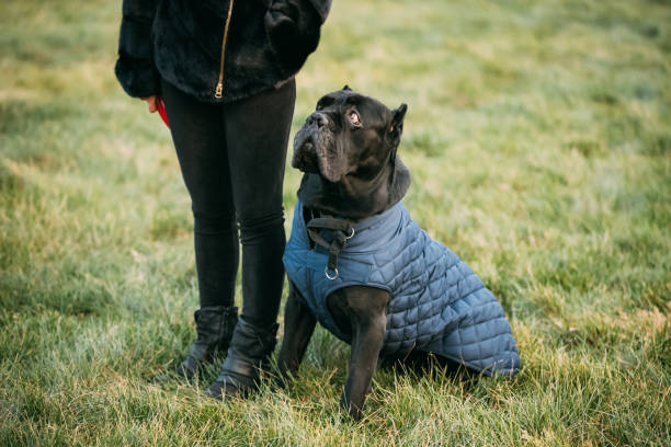 Black Cane Corso Dog Sitting Near Human. Dog Wears In Warm Clothes. Big Dog Breeds Black Cane Corso Dog Sitting Near Human. Dog Wears In Warm Clothes. Big Dog Breeds. cane corso stock pictures, royalty-free photos & images