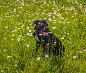 istock Black cane corso in flowers 533569236