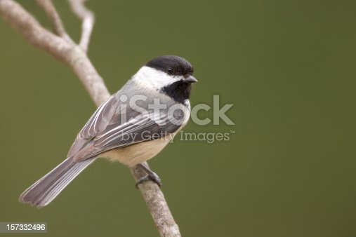 Black Capped Chickadee (Parus atricapillus) perched on branch with green forest background. Looking over shoulder.