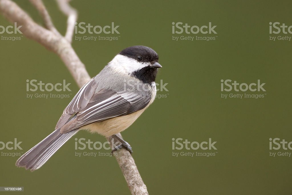 Black Capped Chickadee and Green Background stock photo