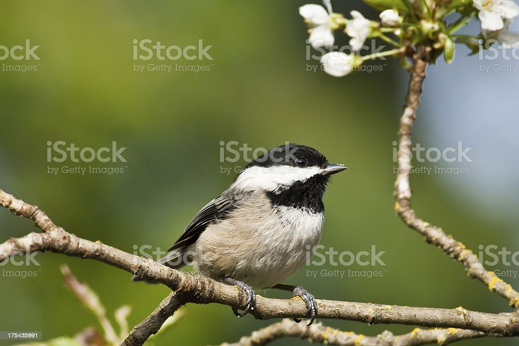 Black Capped Chickadee in a Wild Cherry Tree royalty-free stock photo