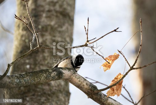 Black Capped Chickadee looking down from branch