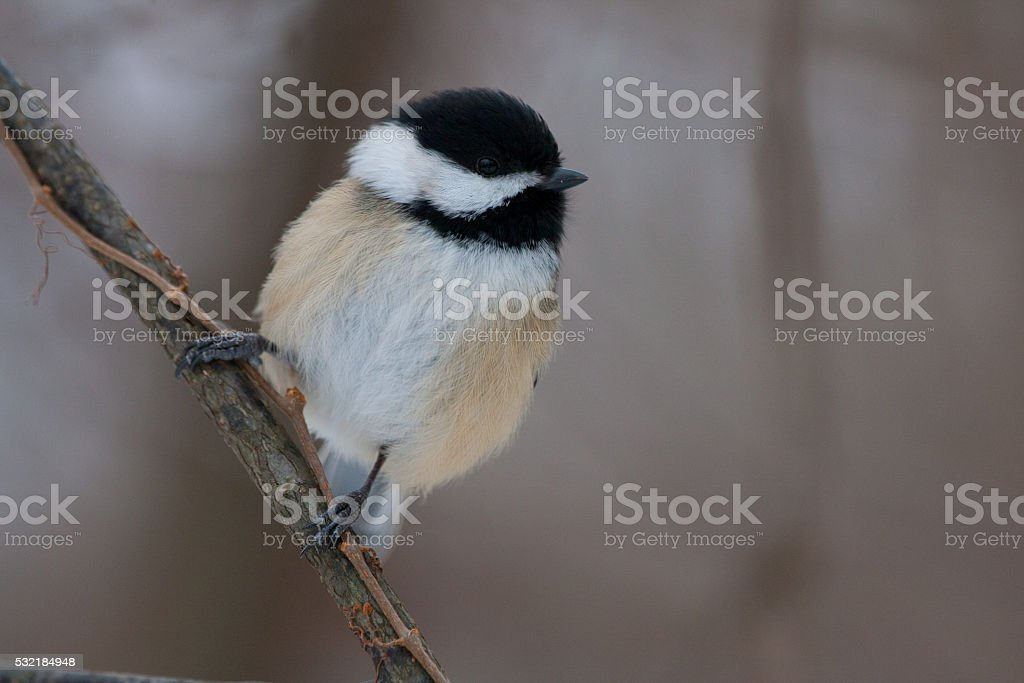 Black Capped Chickadee on Natural Perch stock photo