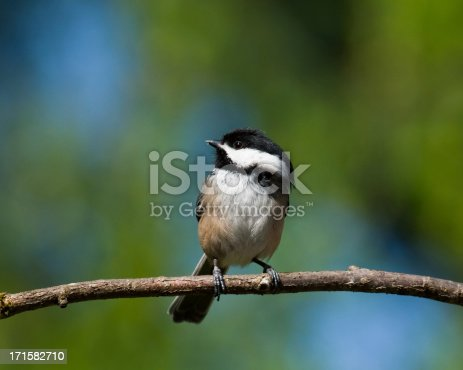 In Western Washington State the Black Capped Chickadee (Poecile atricapillus) is a year-round resident. The chickadee is bold, gregarious and not a bit shy of humans. Their call is a distinctive chick-a-dee-dee-dee. This chickadee was photographed in Edgewood, Washington State, USA.