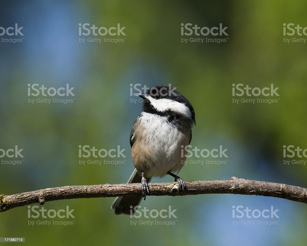 Black Capped Chickadee Perched on a Branch stock photo