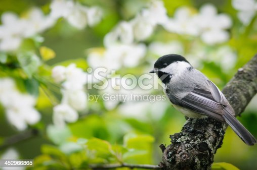 A Black Capped Chickadee (Poecile atricapillus) perched on a limb of a flowering crab apple tree.