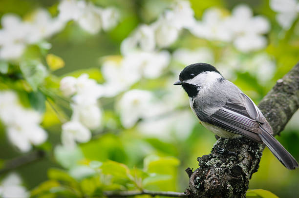 Black Capped Chickadee A Black Capped Chickadee (Poecile atricapillus) perched on a limb of a flowering crab apple tree. chickadee stock pictures, royalty-free photos & images