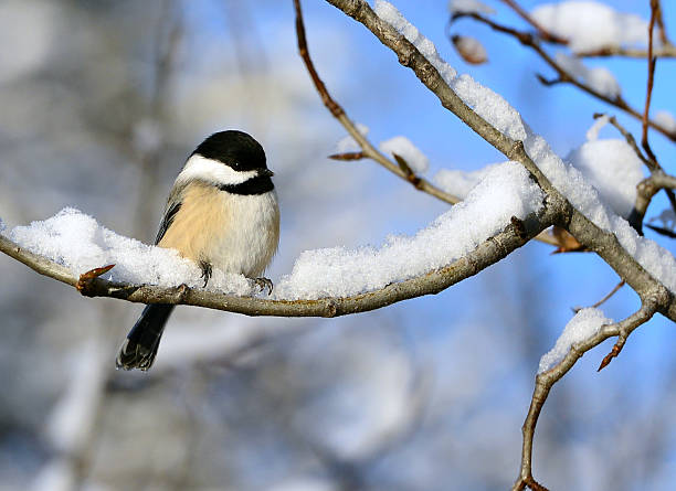 Black Capped Chickadee Black Capped Chickadee resting on a snow covered branch chickadee stock pictures, royalty-free photos & images