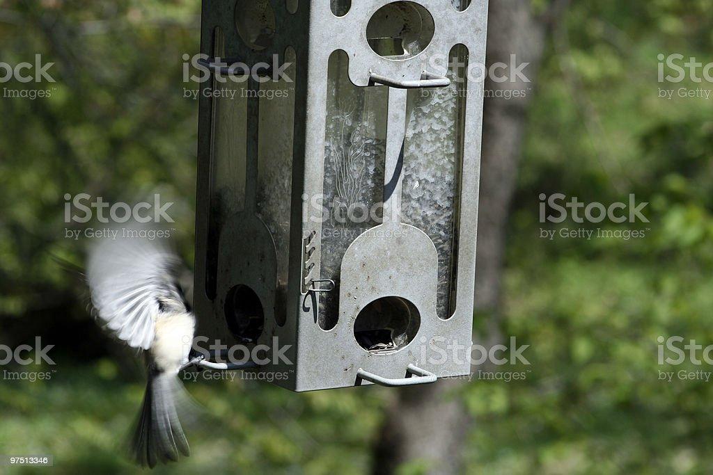 Black capped Chickadee royalty-free stock photo