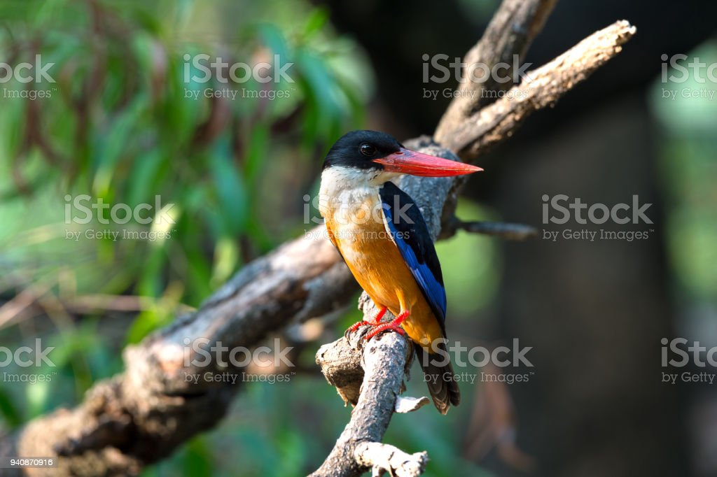 Black capped Kingfisher side view closeup. stock photo