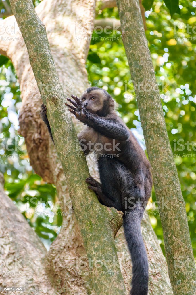 Black capuchin monkey stock photo