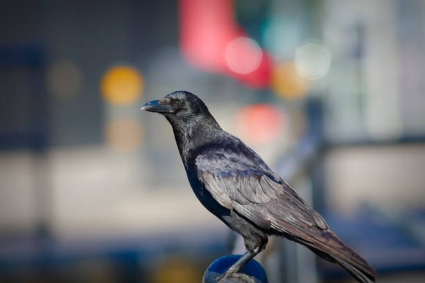 Black carrion crow in the city Corvus corone profile stock photo