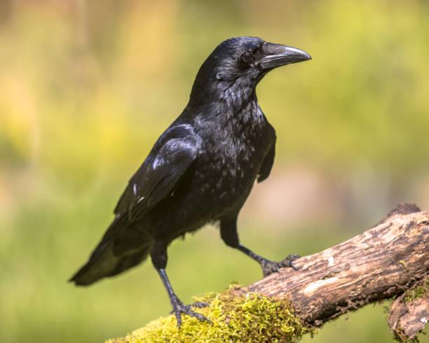 schwarz carrion crow auf nahrungssuche - saatkrähe stock-fotos und bilder
