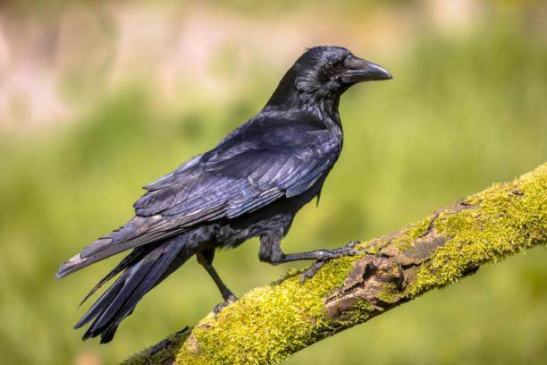schwarz carrion crow auf bemoosten log - saatkrähe stock-fotos und bilder