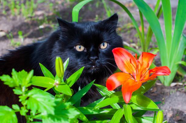 black cat and orange Lily stock photo