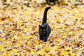 A black haired domestic cat is running toward the camera the day before Halloween on a thick, bright, yellow, orange and gold carpet of leaves which have fallen over the last few weeks onto a late autumn back yard lawn in late October. Suburban scene near the city of Rochester, in western New York State, USA.