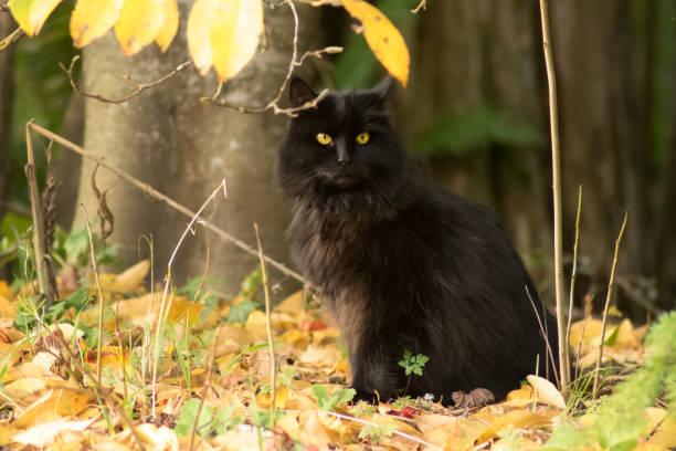 Black cat autumn portrait picture id1041326034?b=1&k=6&m=1041326034&s=612x612&w=0&h=euley9bmkcolm8uffngv1rdlhf2cbva4njuzv vkm4e=