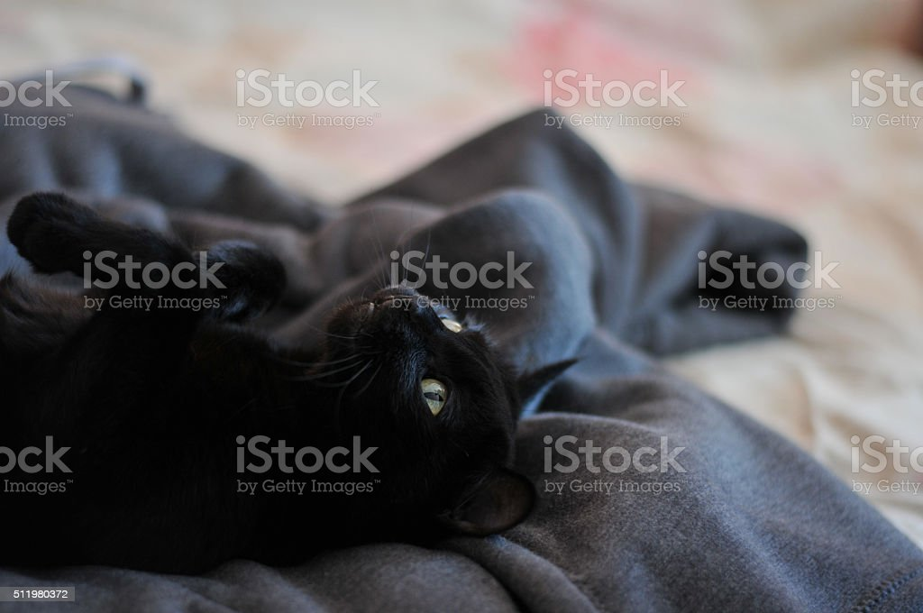 Black cat basked in master bed. stock photo