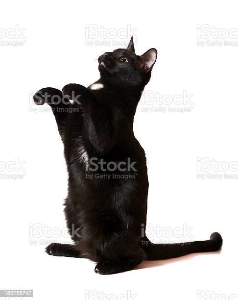 Black cat begging picture id185258742?b=1&k=6&m=185258742&s=612x612&h=bwxm 3npuqosffmelitrte6mylrczng eujykiou ri=