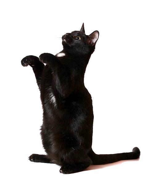 Black cat begging picture id185258742?b=1&k=6&m=185258742&s=612x612&w=0&h=nkewsygxunvxodtmjjad0eehbk4nqrl twvtbs6g2x0=