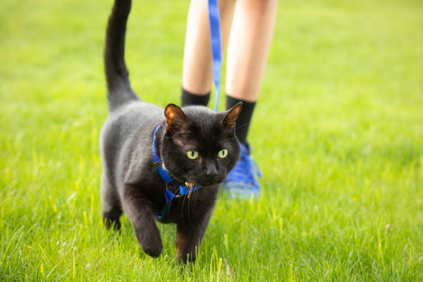 Black Cat Being Walked on Leash stock photo