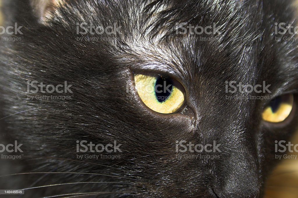Black cat closeup royalty-free stock photo