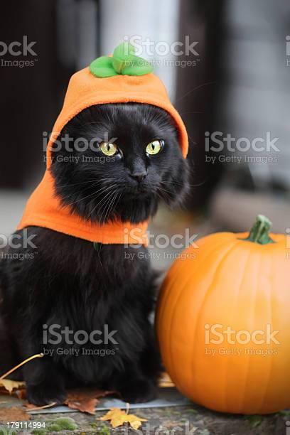Black cat dressed as pumpkin picture id179114994?b=1&k=6&m=179114994&s=612x612&h=wmwylx14bo5gzm70zfk0l8r3pb1yppcwyhmequjj cc=
