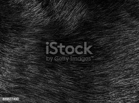 istock Black cat fur hairs closeup, texture and pattern 839527400