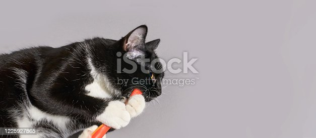 istock Black cat holding animal toothbrush 1225927865