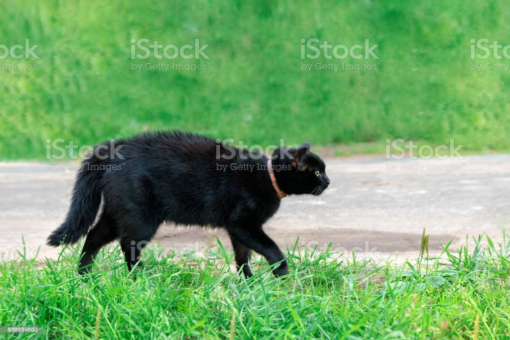black cat in a collar on the grass bristled stock photo
