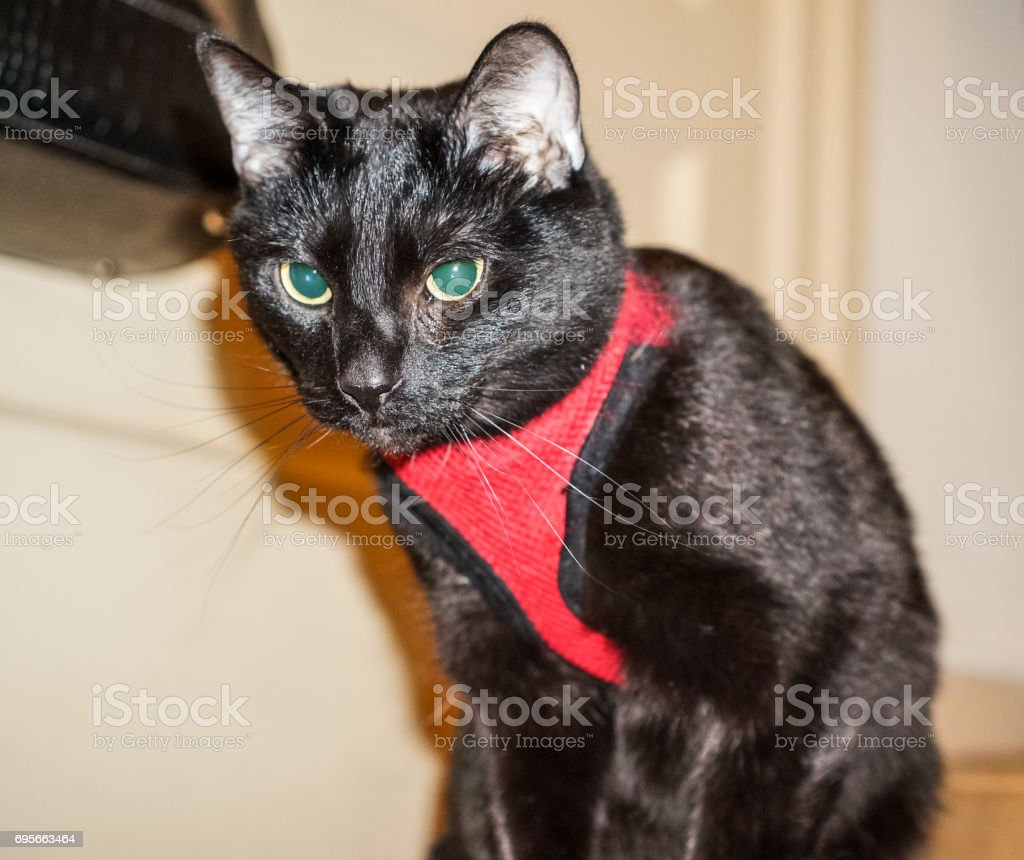 Black Cat in a Red Vest stock photo