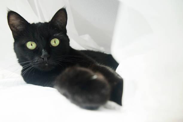 Black cat in an airy white veil picture id1226473602?b=1&k=6&m=1226473602&s=612x612&w=0&h=q59hwnl0afrx bze13iieem umm5jggkdscxcb4c 18=