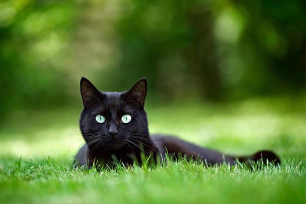Black cat in garden picture id522302922?b=1&k=6&m=522302922&s=612x612&w=0&h=ooukfklbosullxqg8z m mxn2btjh88kfdqqivqzdk0=