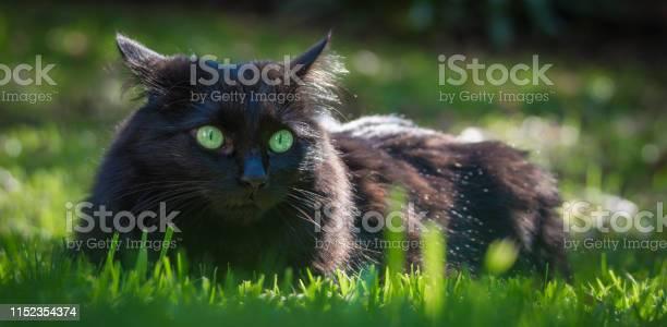 Black cat in grass picture id1152354374?b=1&k=6&m=1152354374&s=612x612&h=cxebevzxdnqkan0xh ud kvkoq8hqjma4ig6 ypxlqo=