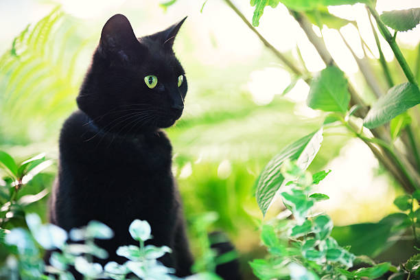 Black cat in green environment picture id174794944?b=1&k=6&m=174794944&s=612x612&w=0&h=udkkakzcdpjsemg yr7gos0g0lauctx1t2748chf5ps=