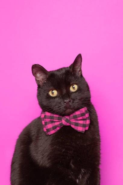 Black Cat in Purple Bow Tie stock photo