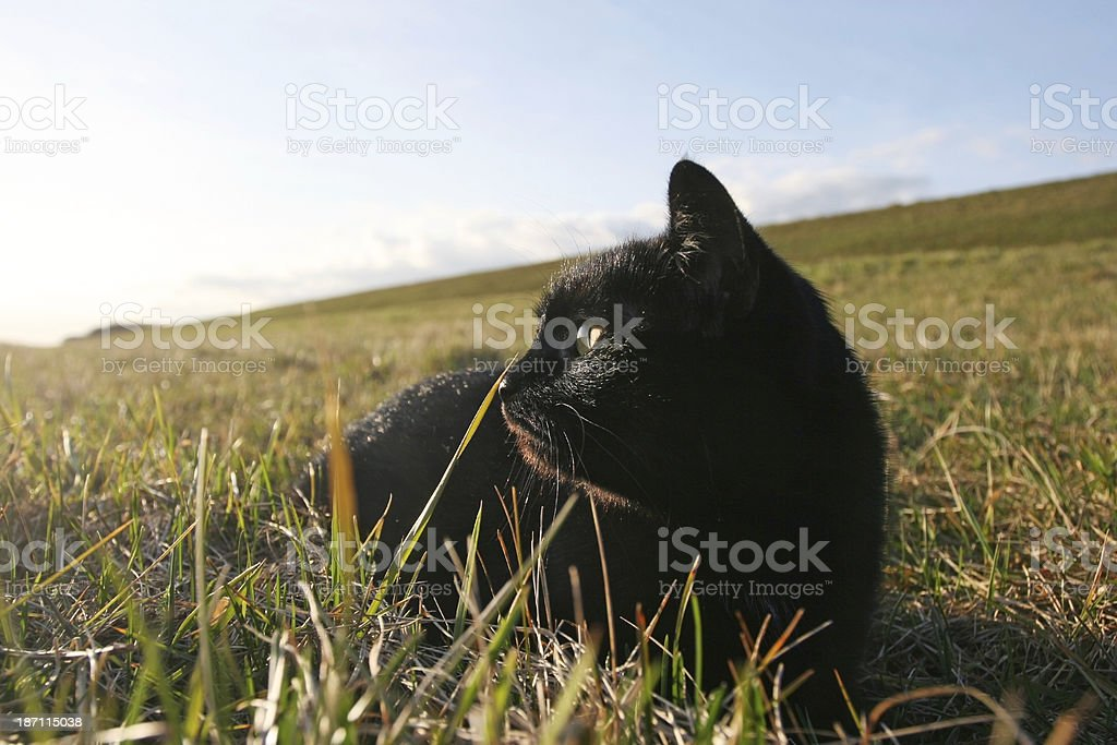 Black cat in the grass royalty-free stock photo