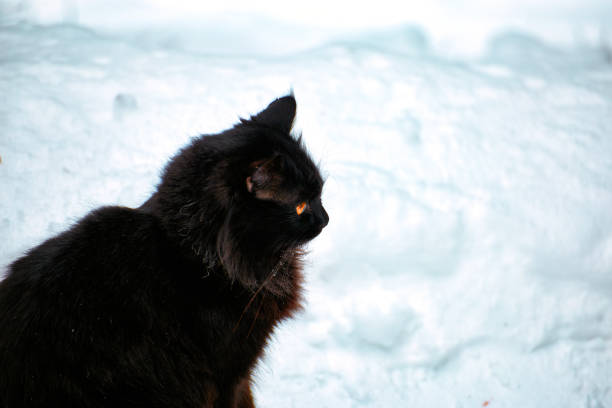 Black cat in the winter on white snow picture id937694776?b=1&k=6&m=937694776&s=612x612&w=0&h=msqr4cpgl6rggnwwneqkr4phdew35s1x2ufbpacjtvu=