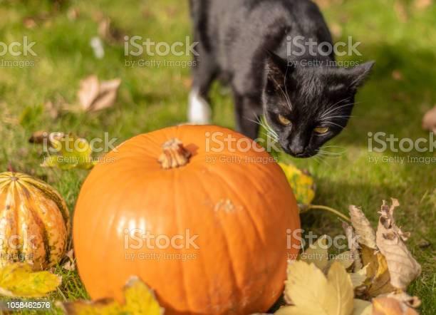 Black cat inspects a pumpkin at halloween picture id1058462576?b=1&k=6&m=1058462576&s=612x612&h=bwanpabtz7i3hvt0iuvghhga1tfbvb9qumzmbsn efo=